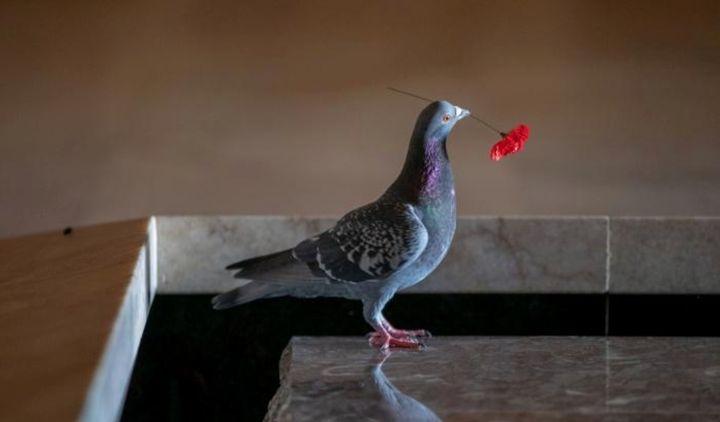 pigeon stealing poppy