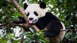 Calgary Pandas' Picky Eating Habits Familiar To Any