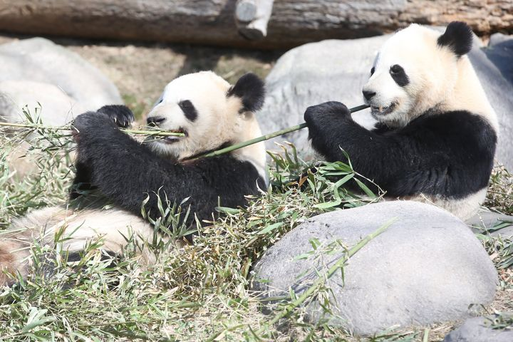 Out of the four pandas, two of them are Canadian-born. Er Shun and Da Mao came to the Toronto zoo from China in 2013. Twins Jia YueYue and Jia PanPan were born two years later.