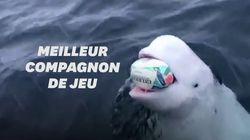 Ce beluga n'a rien à envier aux Sud-Africains champions du monde de