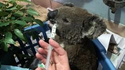 NSW Bushfires Wipe Out Half Of Koala Colony, Threaten