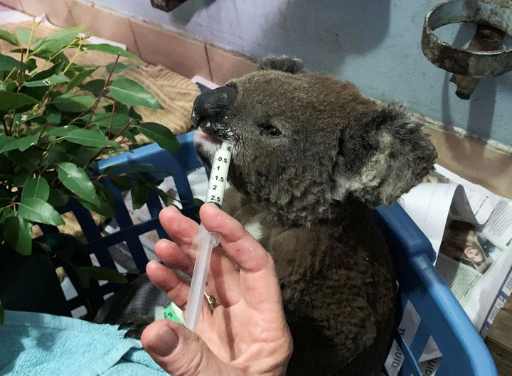 A burnt koala named Anwen, rescued from Lake Innes Nature Reserve, receives formula at the Port Macquarie Koala Hospital ICU in Port Macquarie.
