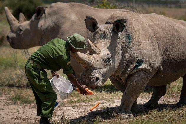 Έφτιαξαν ψεύτικα κέρατα ρινόκερου για να ξεγελάσουν τους