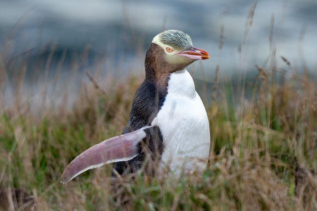 «Πουλί της χρονιάς» στη Νέα Ζηλανδία ο αντικοινωνικός πιγκουίνος Χόιχο που απειλείται με