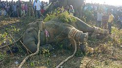 Inde: un éléphant, surnommé «Ben Laden», capturé après avoir tué 5