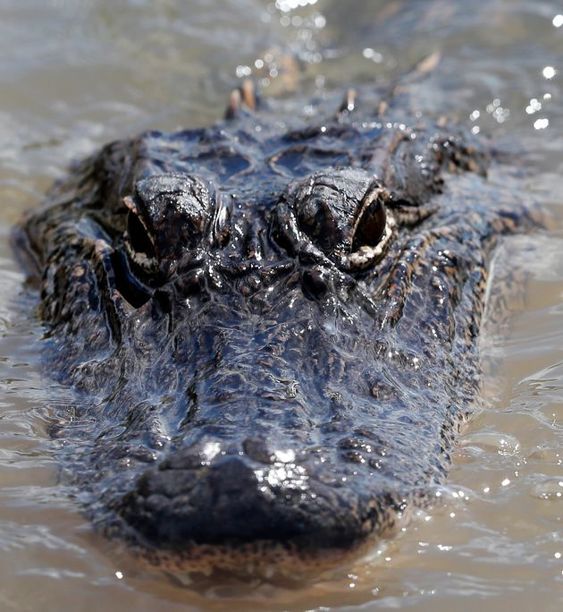 In this Oct. 1, 2018 photo, an alligator floats in the Caernarvon Canal in Caernarvon, La. With prices...