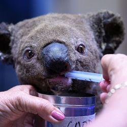 Heartbreaking Pictures Show Desperate Attempts To Rescue Koalas Hit By Australian