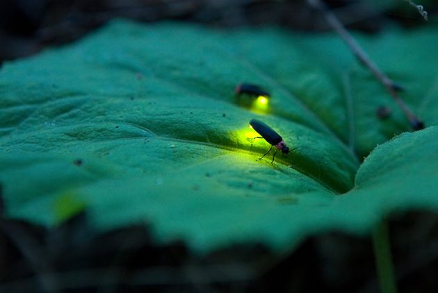 Fireflies usebioluminescent bursts of light to find a mate, but light pollution means it's harder...