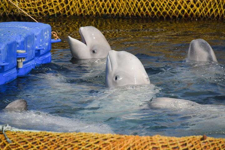 Beluga whales in the facility where illegally caught orcas and belugas were previously being kept to be sold to Chinese amuse