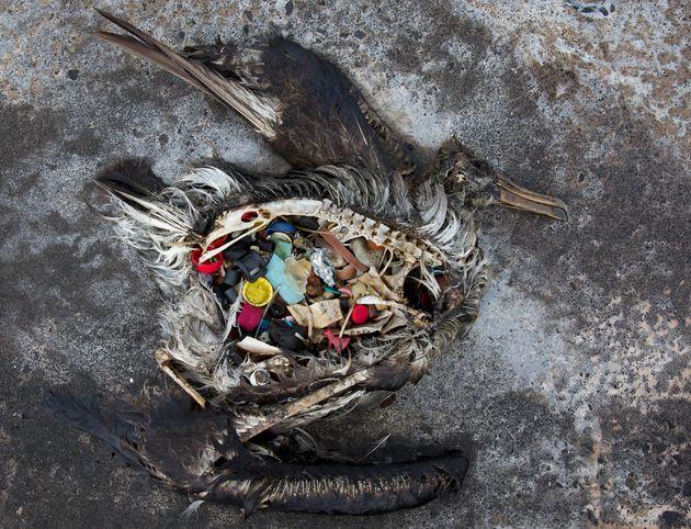 하와이에서 발견된 어린 알바트로스 시체. 플라스틱을 잔뜩 먹고