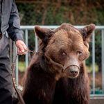 L'ours Mischa, sauvé des cirques en septembre, est
