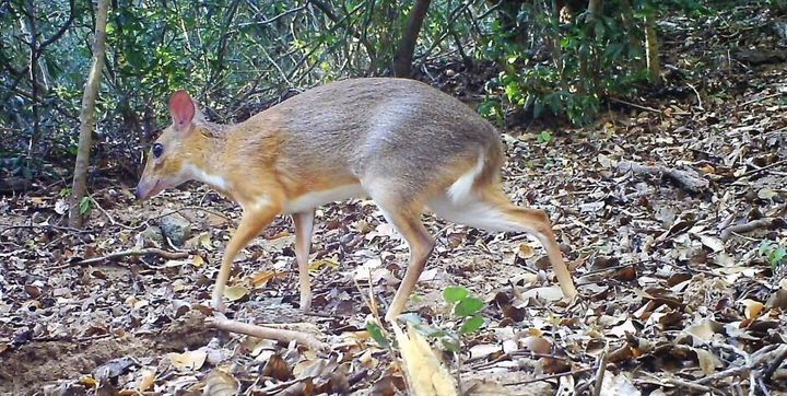 The continued existence of the chevrotain, a small deer-like animal in Vietnam, has been confirmed scientifically for the fir