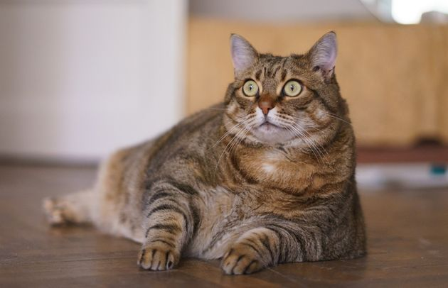 A cat that resembles (but is not actually)