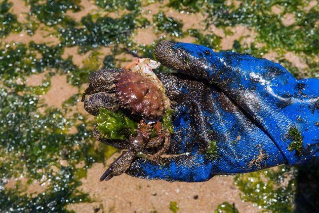 Óleo afetou fauna marinha em praia de Lauro de Freitas, na