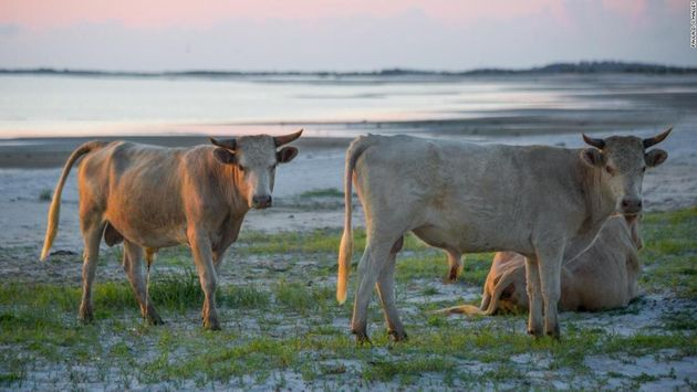 Οι αγελάδες που επιβίωσαν...