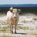 ΗΠΑ: Η περιπέτεια των αγελάδων που κολύμπησαν 8 χιλιόμετρα για να σωθούν από