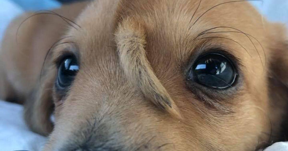 Ce petit chien licorne fait fondre tout le monde et on comprend pourquoi