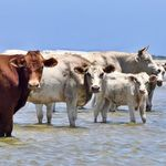 Cows Swept Off Coast During Hurricane Dorian Survive 'Gilligan's
