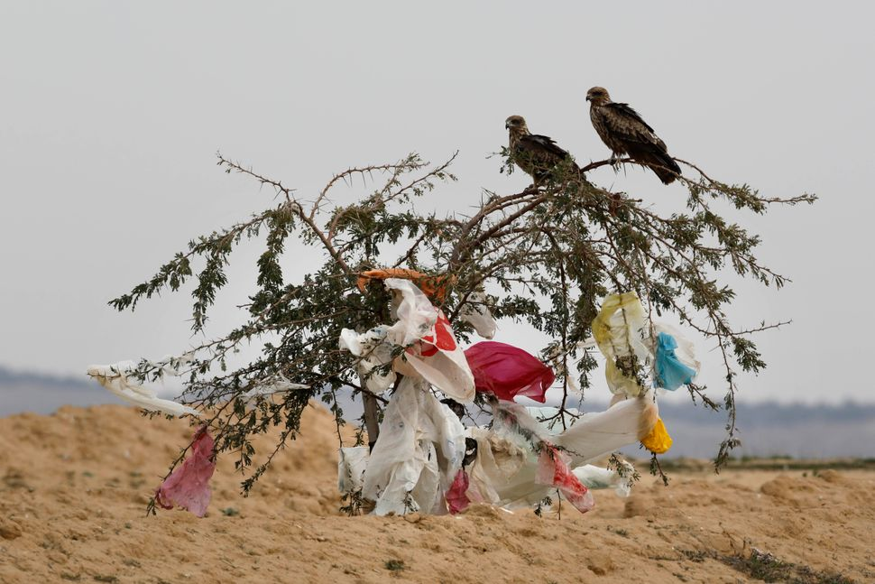 Black kites sit on a tree with plastic bags clinging to it after a storm near the Dudaim dump in Israel's Negev desert.