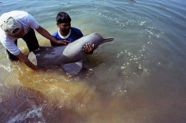 WFFインディアにより保護され、パンチャプトゥーリ淵にリリースされるガンジスカワイルカ