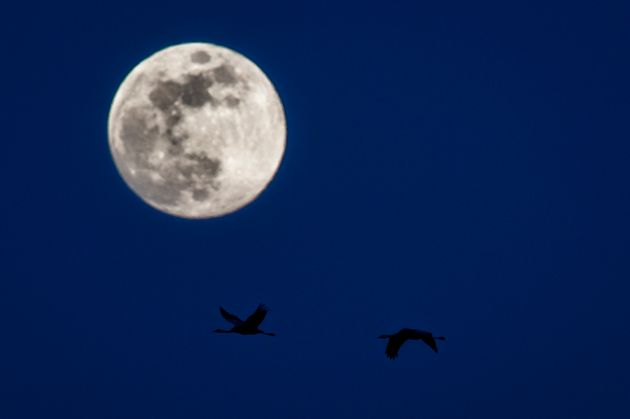 DIEHSA, GERMANY - MARCH 30: Two cranes are pictured in front of the rising moon on March 30, 2018 in...