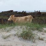 Trois vaches emportées par un ouragan retrouvées vivantes sur une