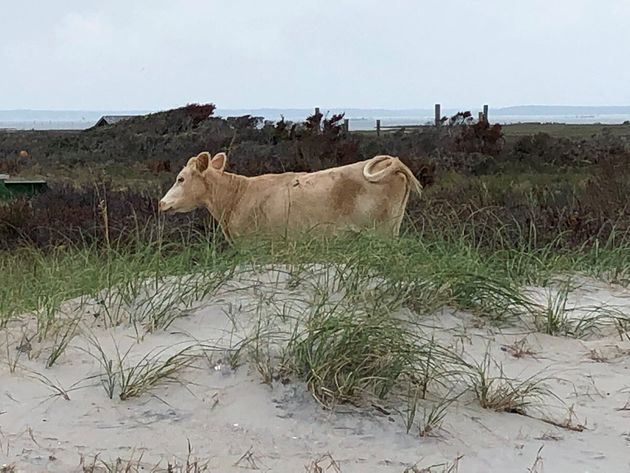 Le service des parcs nationaux a diffusé plusieurs images d'une de ces vaches retrouvées...