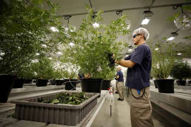 A worker collects cuttings from a marijuana plant at the Canopy Growth facility in Smiths Falls, Ont.,...