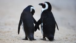 People Cheer On Same-Sex Penguin Couple Who Stole An Egg To Parent As Their