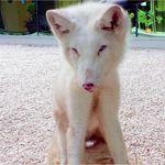 La Policía encuentra a un zorro ártico por las calles de