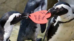 네덜란드 동물원의 게이 펭귄 커플이 알을 훔쳐 품고