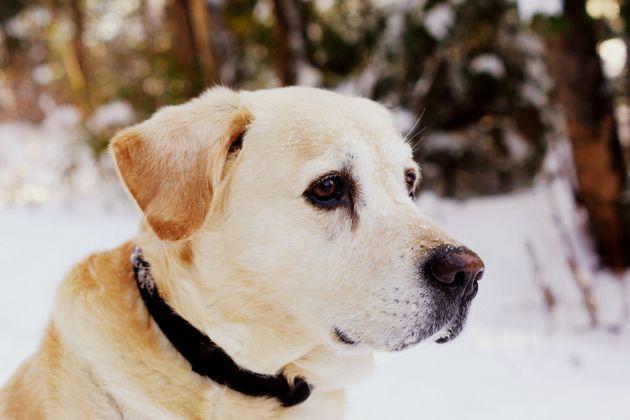 Selon cette étude, un Labrador de 8 ans aurait, en réalité, l'âge humain d'une...