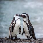 ゲイカップルのペンギン 盗んだ卵を大切にする姿に応援の声が上がる【画像】