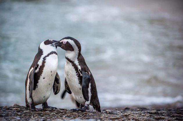 ペンギンのカップル(イメージ画像)