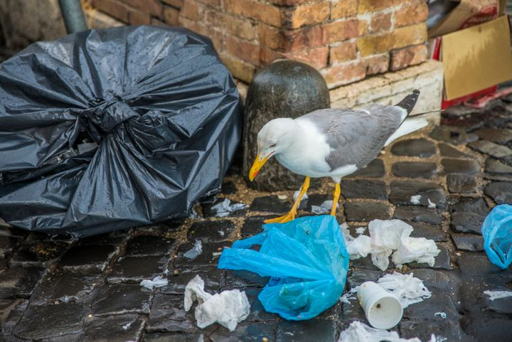 A seagull on the streets of Rome. A seagull digs in a garbage bag.