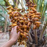 Le Maroc reste le premier importateur de dattes
