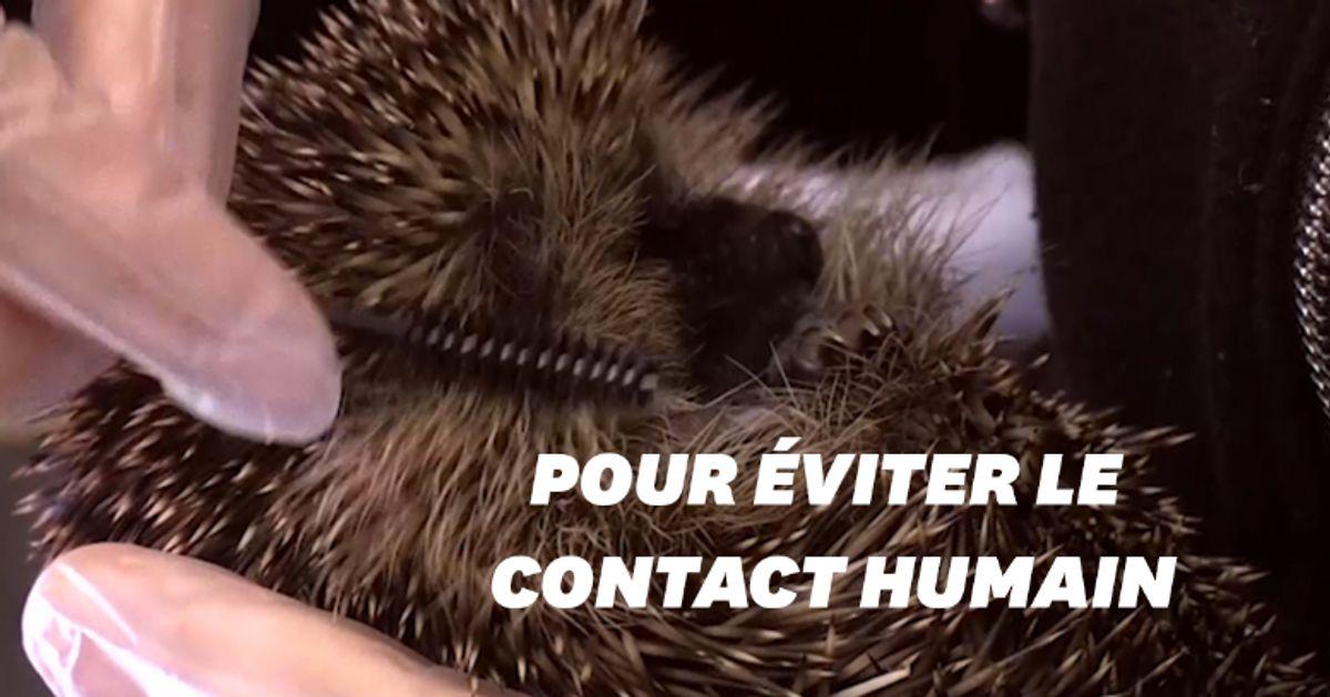 En Ecosse, ce centre de sauvetage soigne les hérissons avec des brosses à mascara