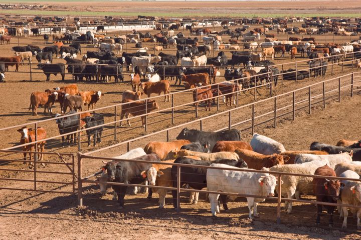 Cattle awaiting slaughter in feedlot in west Texas. Just over 40% of U.S. land is used for livestock, to rear them and to gro