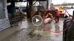 Emergenza maltempo nelle fattorie a Budrio. Animali salvati dai vigili del fuoco