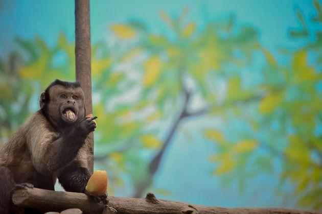Γιατί η μαϊμού με το «ανθρώπινο πρόσωπο» δεν βρίσκει θηλυκό εδώ και 19