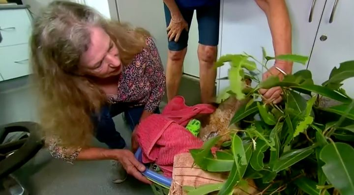 Earlier this week a koala was reunited with Toni Doherty at Port Macquarie Koala Hospital. Doherty had rescued him from a NSW bushfire near Long Flat, 49 kilometres west of Port Macquarie.