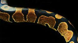 Νέα έρευνα αποκαλύπτει πως τα φίδια είχαν πόδια για 70 εκατομμύρια χρόνια πριν τα