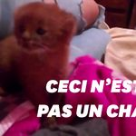 Elle adopte un bébé puma en pensant recueillir un