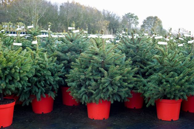 Rental Christmas Trees Are A Thing In The UK – Should Australia Get On