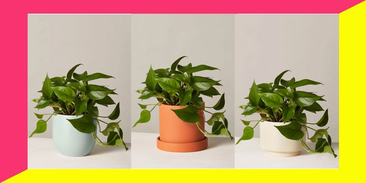 """Friday, Nov. 22 only, <a href=""""https://fave.co/2pLKGy0"""" target=""""_blank"""" rel=""""noopener noreferrer"""">you can get a medium-sized Pothos plant from The Sill</a> for half-off.&nbsp;"""