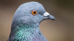 Pigeon Ban Leads To Conflict Of Interest Allegations In B.C.