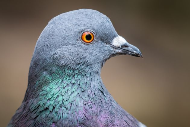 Pigeon Ban Leads To Conflict Of Interest Allegations In B.C. Community