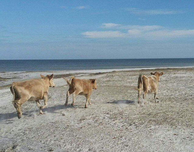 "The three cows ""kicked up their heels and ran down the beach"" after being returned to their home on Cedar Island."