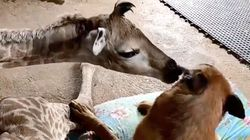 This Orphaned Giraffe And Guard Dog Are Instant Best