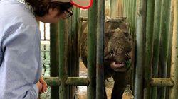 Iman, Malaysia's Last Sumatran Rhino,